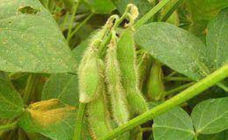 La soja retrocedió 1,4% por las lluvias en la Argentina