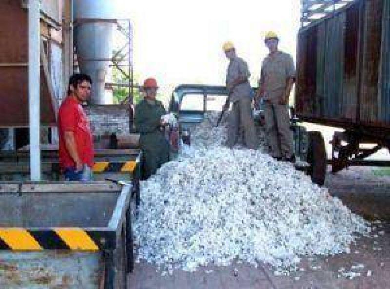 Primera entrega de algodón en la Cooperativa Güemes, de Castelli