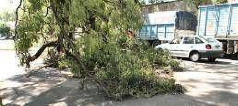 A cinco días de la tormenta aún quedan unos 300 árboles caídos