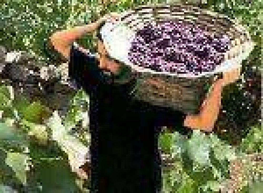 Aseguran que la producción de uva cayó un 10 % en relación al 2.008