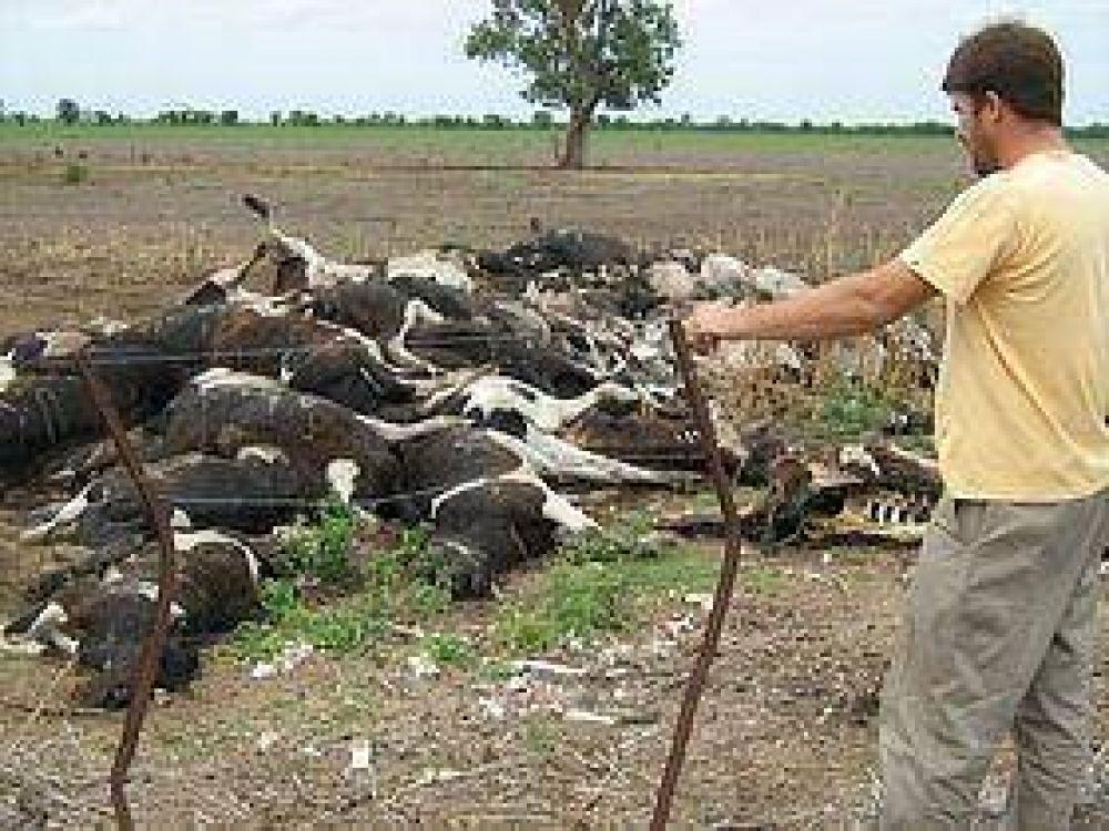 Desazón para un tambero de Ceres que repentinamente perdió 106 vacas