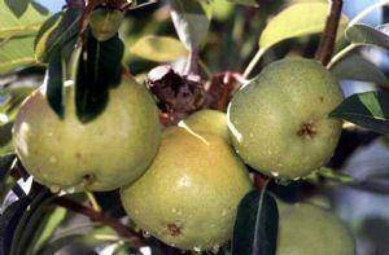 La pera arrancó la temporada con buenos precios y alta demanda