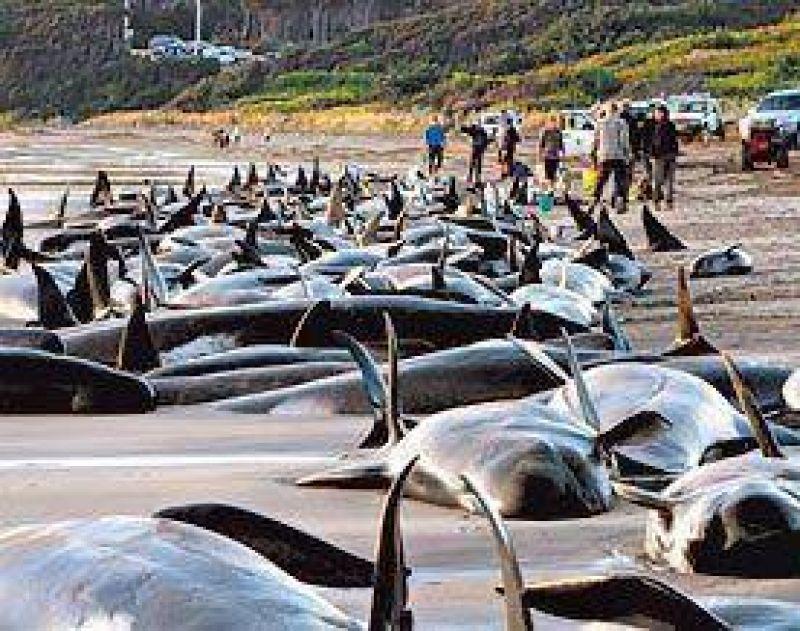 Mueren unas 140 ballenas al quedar varadas en una isla al sur de Australia