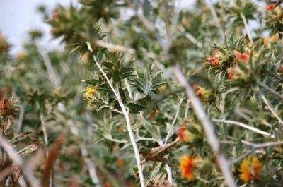 Buenas perspectivas algodoneras en Castelli, con aumento de la superficie de siembra