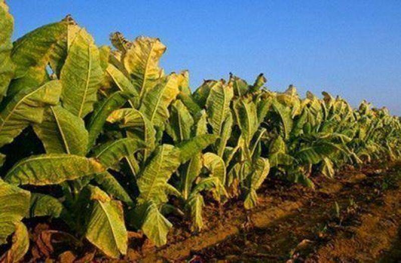 Tabacaleros conf�an en la intermediaci�n del Gobierno para conseguir recursos del FET