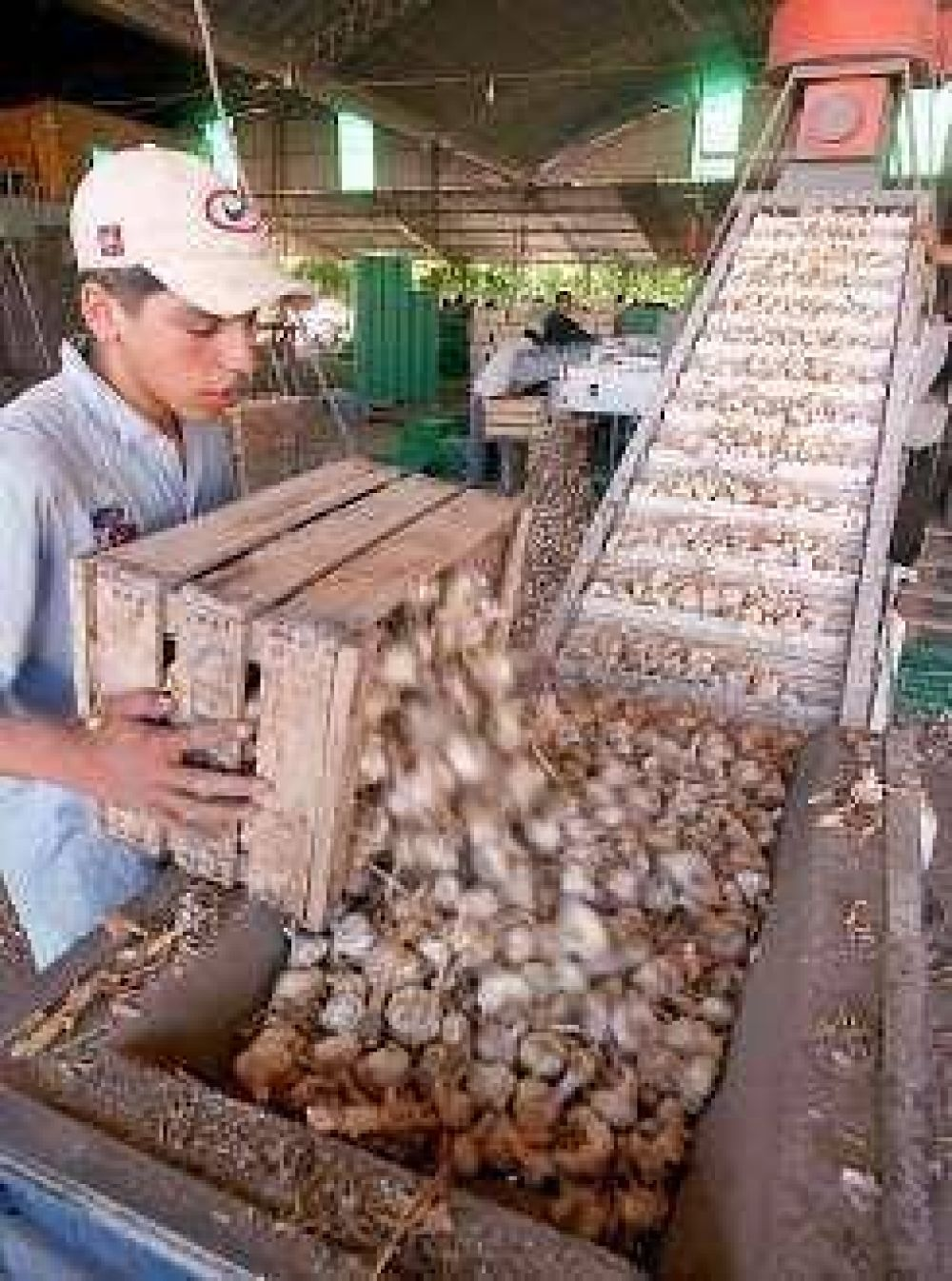 El gobierno prepara un salvataje para el ajo