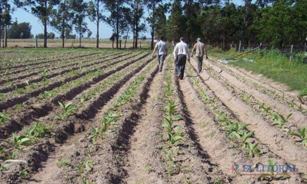 Comenzó la campaña tabacalera con la intención de plantar 2.000 hectáreas