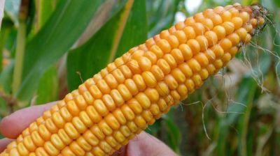 Desautorizan estudio sobre la toxicidad del maíz de Monsanto