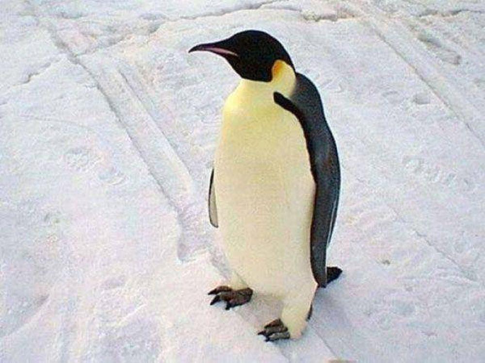 Argentinos hallan en la Antártida restos de un pingüino de dos metros