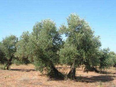 """La crisis que sufre el sector olivícola """"Es la peor en los últimos 50 años"""""""