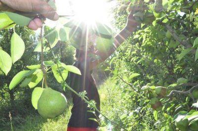 Está en marcha la cosecha de peras en la región