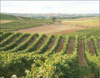 Se espera un incremento en la producción vitinícola en 2013