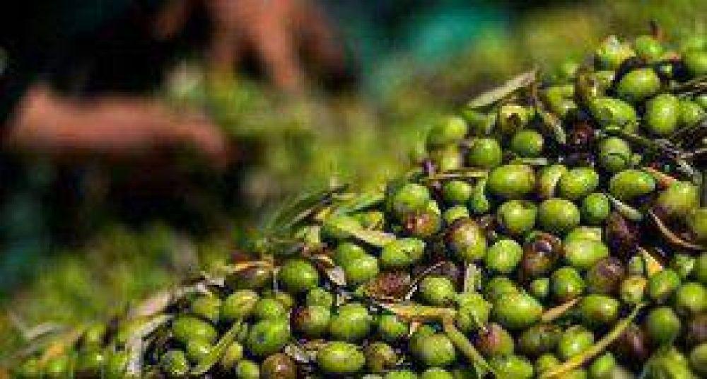 Si no aparecen las finanzas podría perderse la cosecha de aceitunas