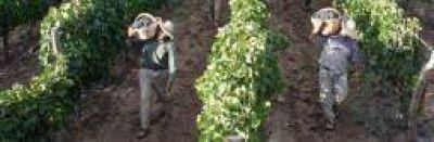 La cosecha viñatera este año rondará los 100 millones de kilos
