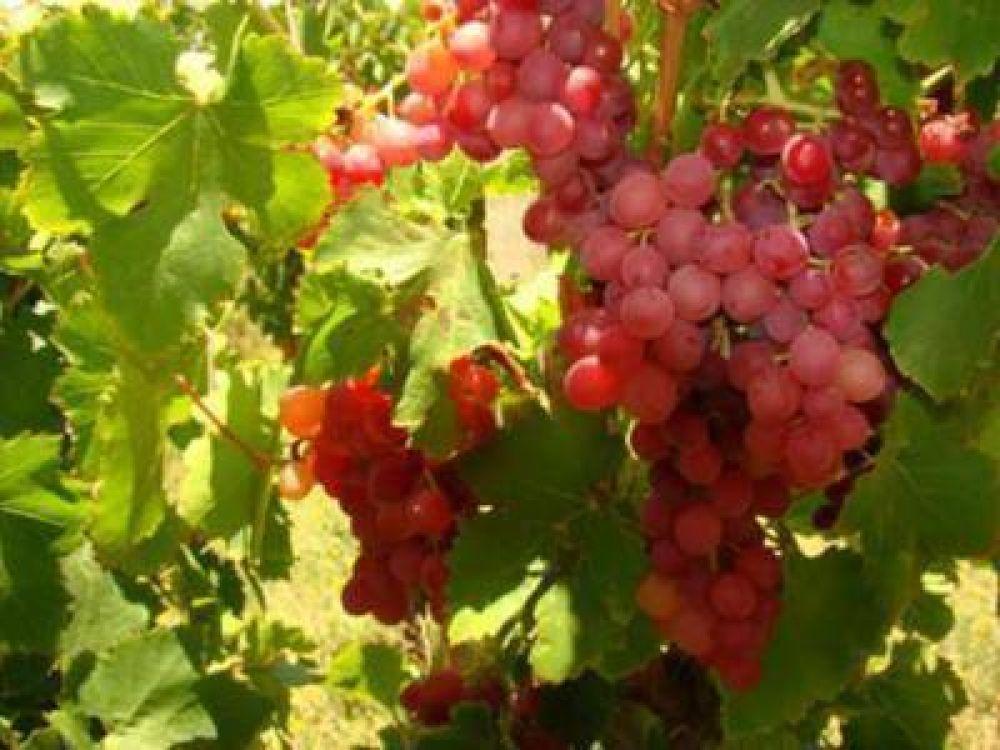 Defienden la fijación del precio oficial de la uva