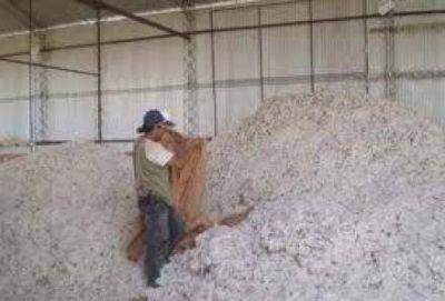 Algodón: Se llevan acopiadas 4.800 toneladas en planchadas oficiales