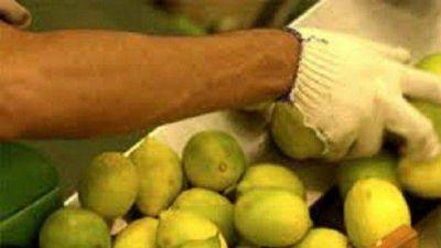 Limones tucumanos, cerca de ingresar a México