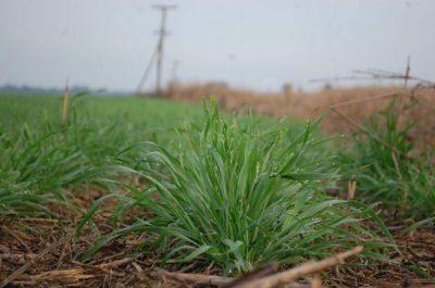 Las lluvias impulsan una mayor siembra de trigo en el Chaco