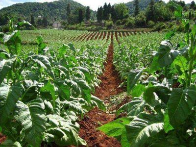 Complicaciones para llegar a las 17.000 hectáreas de tabaco