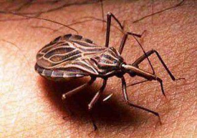 En Neuquén, por año se detectan 60 embarazadas con Chagas