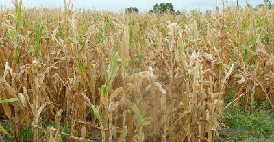 Sequía compromete el 30% del trigo