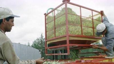 El subsidio olivícola será para 150 trabajadores