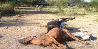 El Campo sin respuestas por la sequ�a y la mortandad de animales
