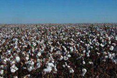 El retorno de las lluvias alienta el cultivo del algodón