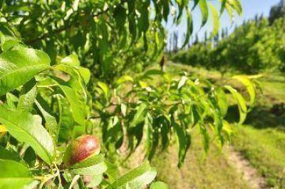 Poca fruta de carozo para cosechar en Río Colorado