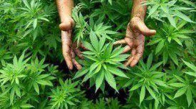 Presentan un proyecto de ley para permitir el autocultivo de marihuana