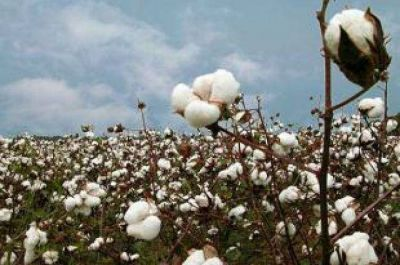 El algodón se recupera y podrían superarse las 250 mil hectáreas sembradas